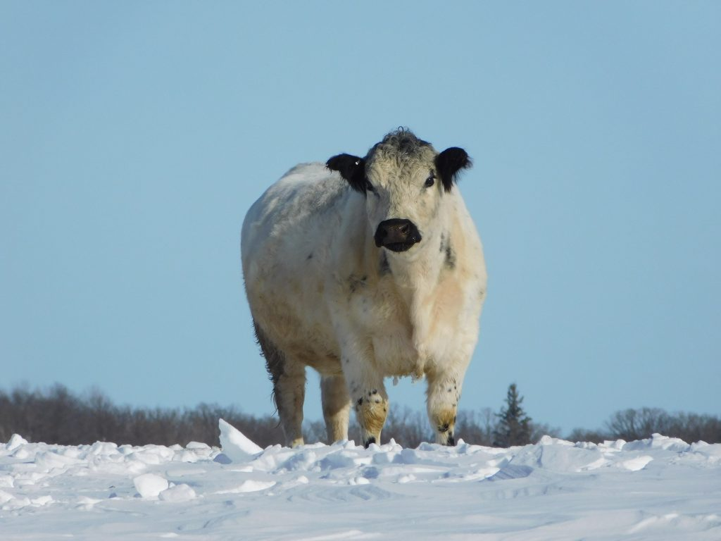 white cow stands on snow
